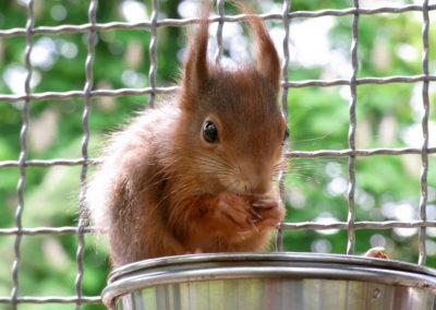 Eichhörnchen Voliere Einzug