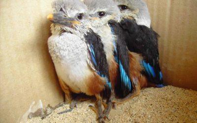 Steilhang abgebrochen, drei Graukopf- Eisvögel gerettet