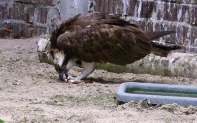 Fischadler auf dem Weg der Besserung