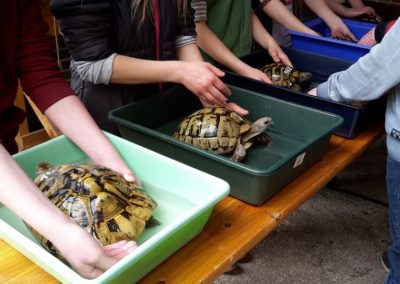 Landschildkröten in den Frühling